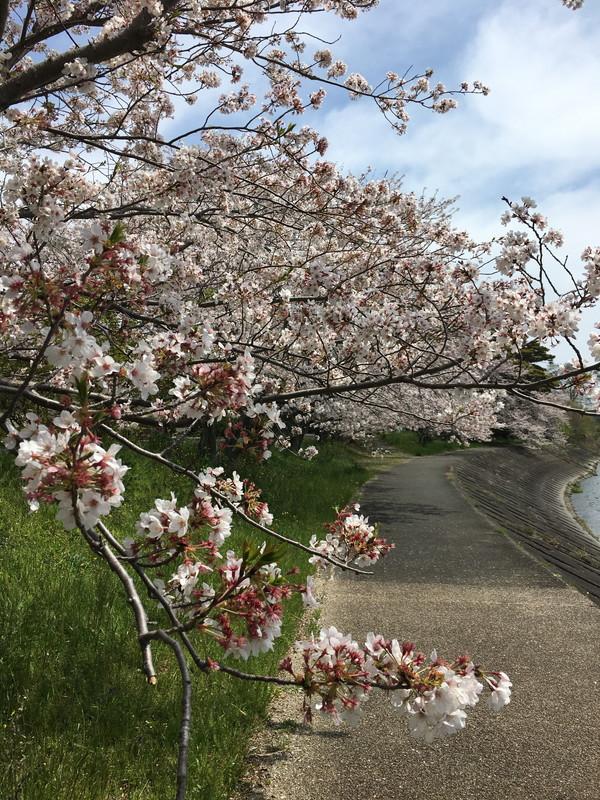 瀬戸川沿いの桜並木。西焼津からの花見スポット