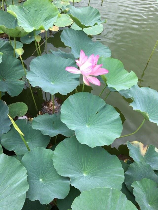 蓮華寺池で蓮(ハス)の花が見れる時期は?