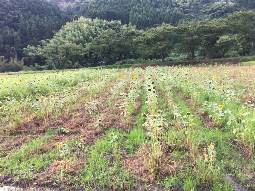 藤枝市で向日葵畑。瀬戸谷温泉ゆらく近くに見に行ったのですが