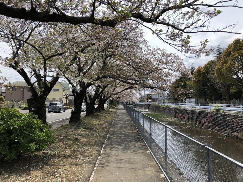焼津市の桜を見に自転車散歩