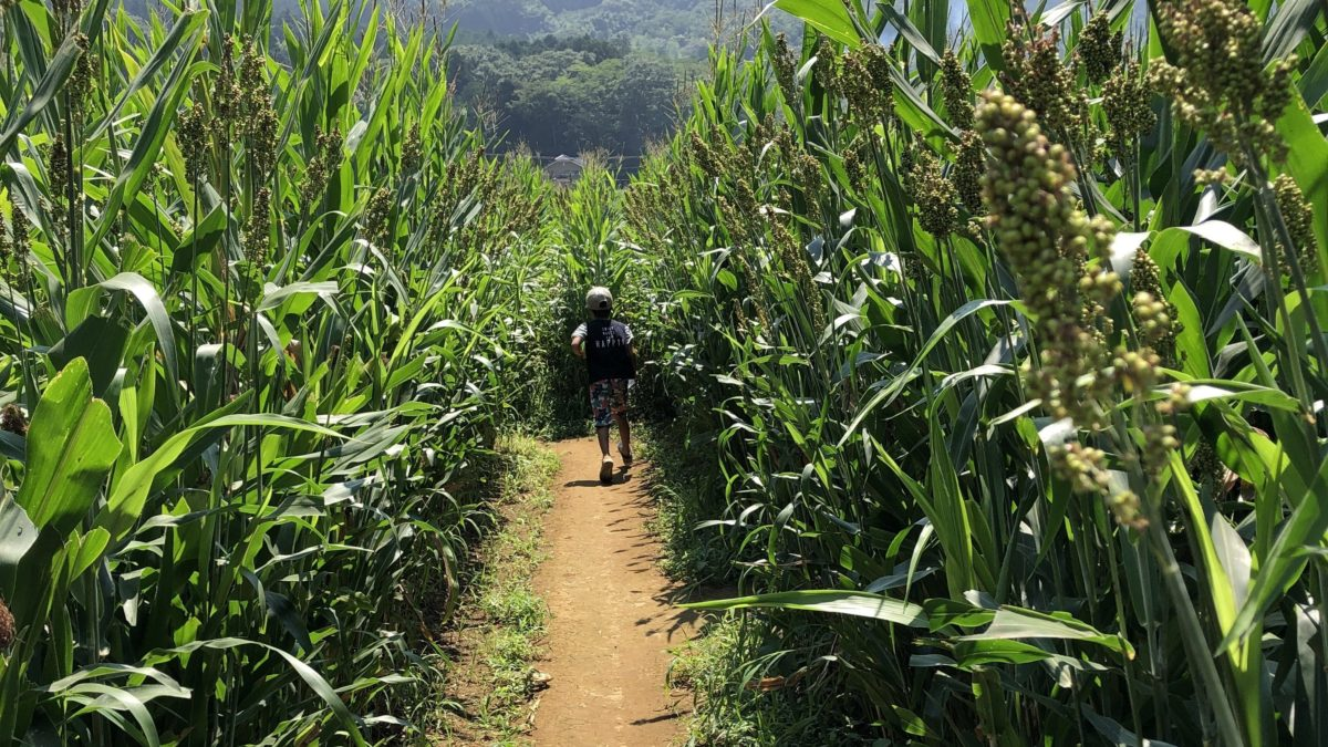 トウモロコシ畑の巨大迷路。子供とお出かけ静岡県函南町