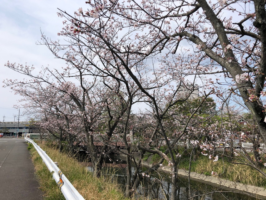 西焼津駅近くの小石川に桜が咲いていました