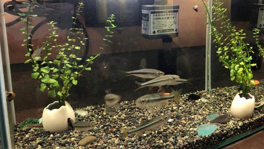 カワムツを水槽で飼育。川エビと稚魚と混泳させた結果