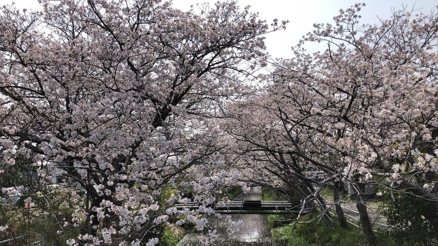 西焼津駅北口の小石川沿いの桜 お花見(大覚寺まで)